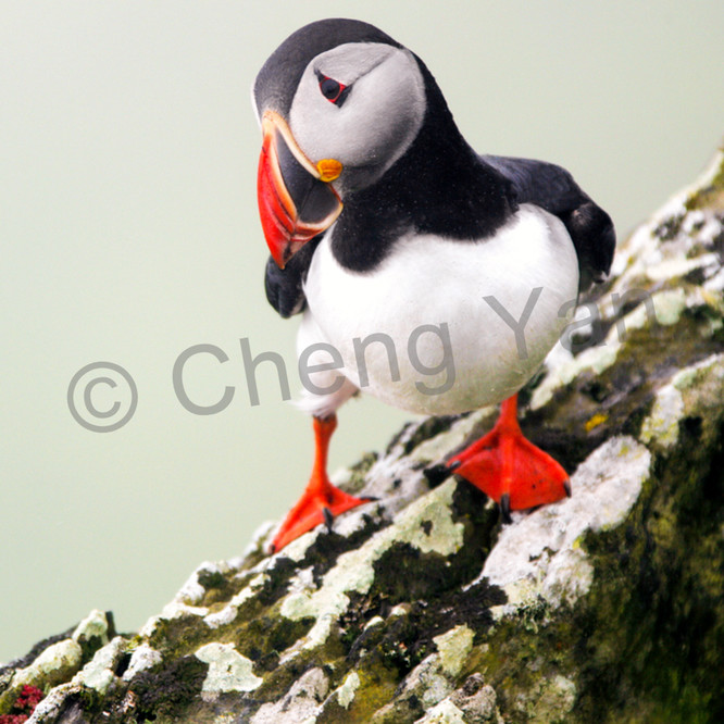 Puffins and sea birds 004 b26rwh
