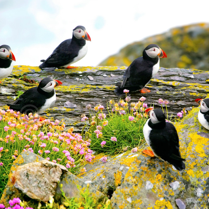 Puffins and sea birds 002 nvqw5p