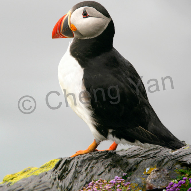 Puffins and sea birds 003 ojfezk