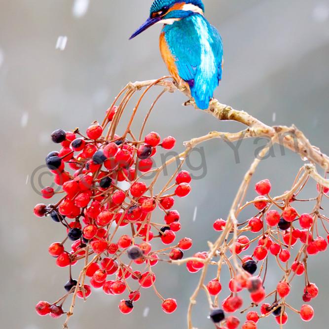 Kingfishers 012 gtwu9r