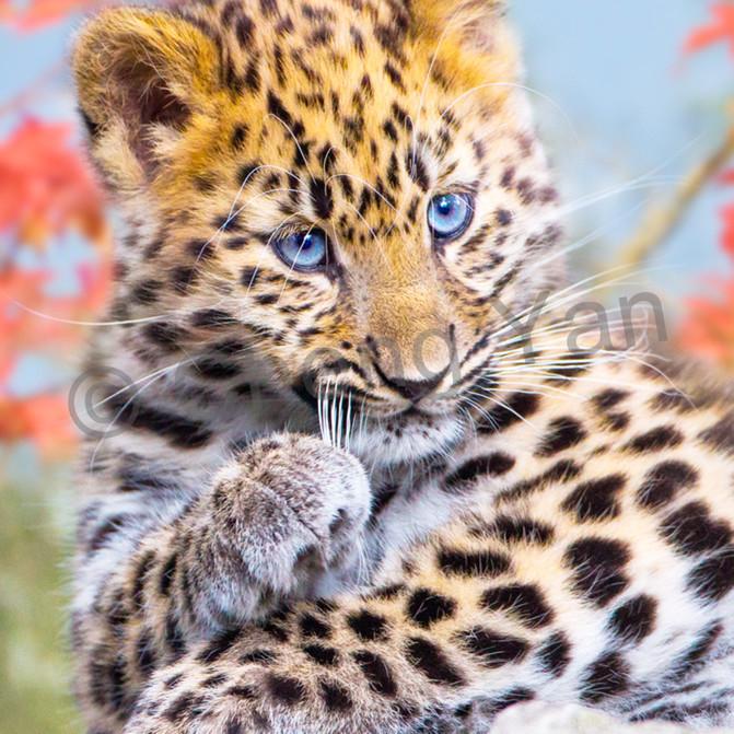 Amur leopards 002 a3dl3f