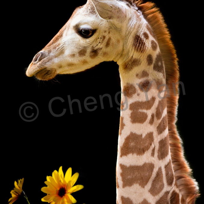 Giraffes 012 qevcu3