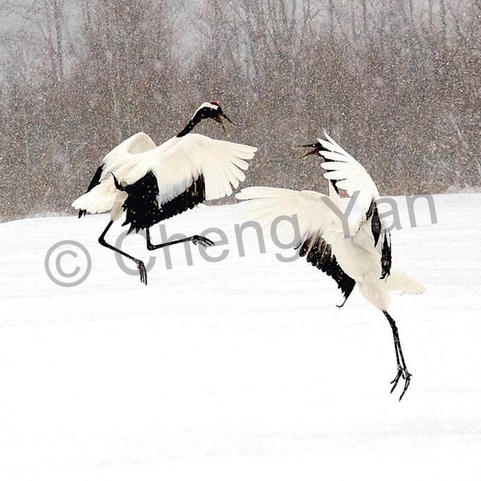 Red crowned cranes 033 yokqlz