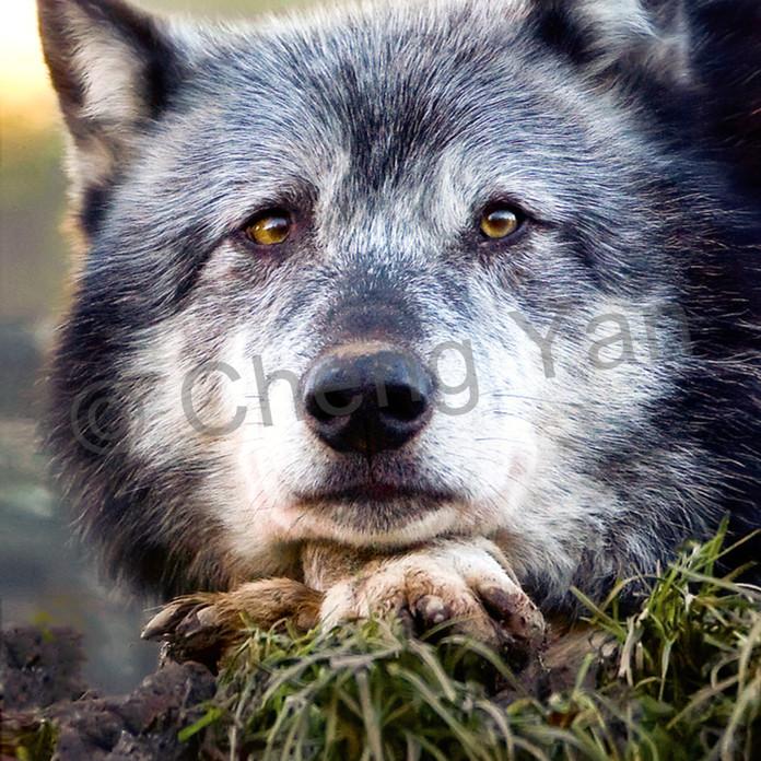 Wolves 010 xbjqgi