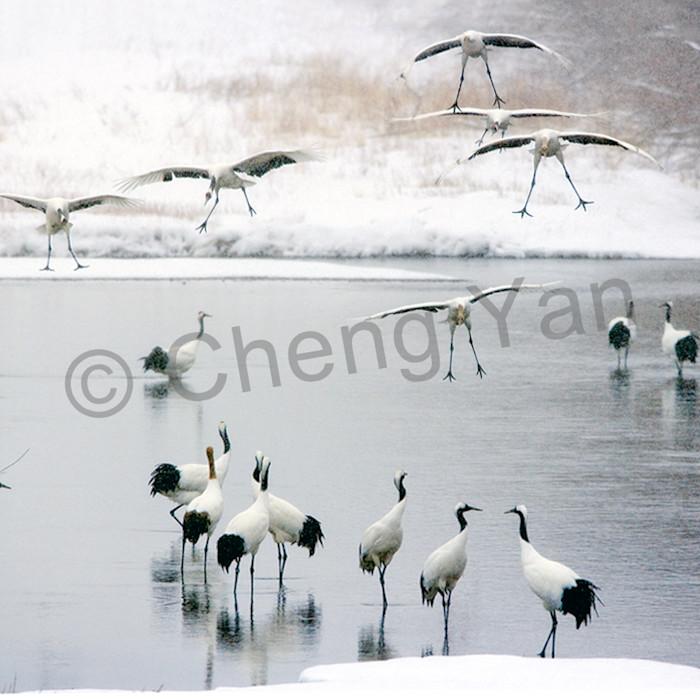 Red crowned cranes 034 ujb6la