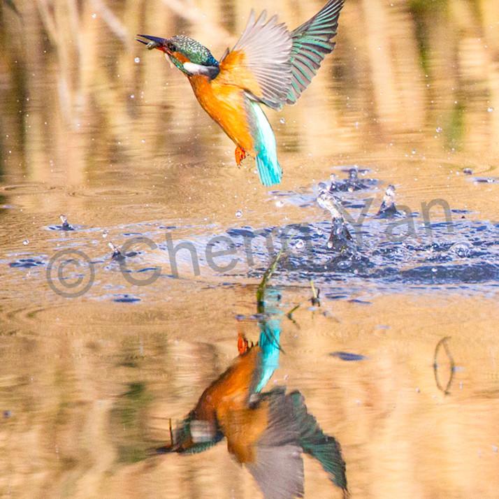 Kingfishers 051 i0wbzc