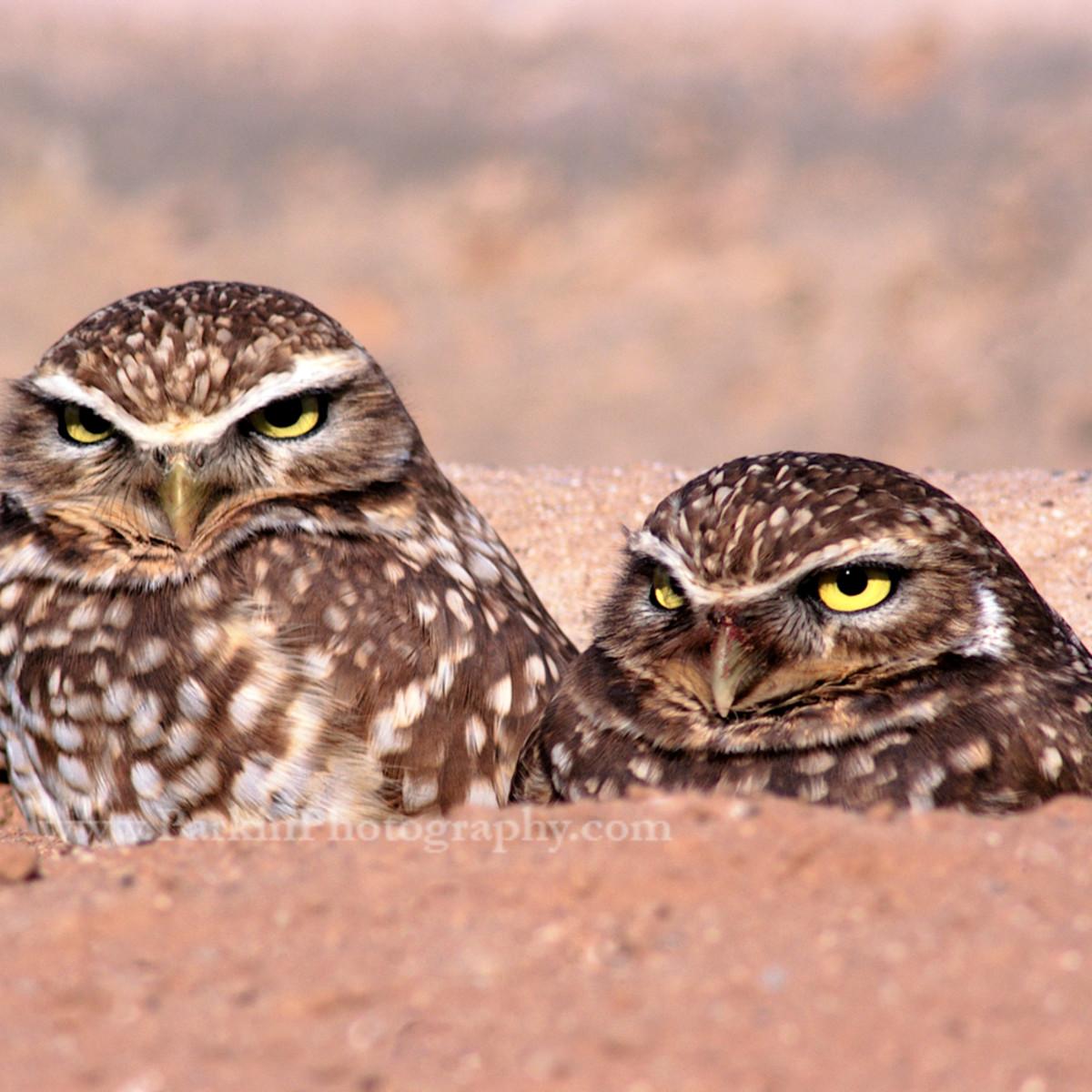 Burrowing owls 479 asf nrsdbg