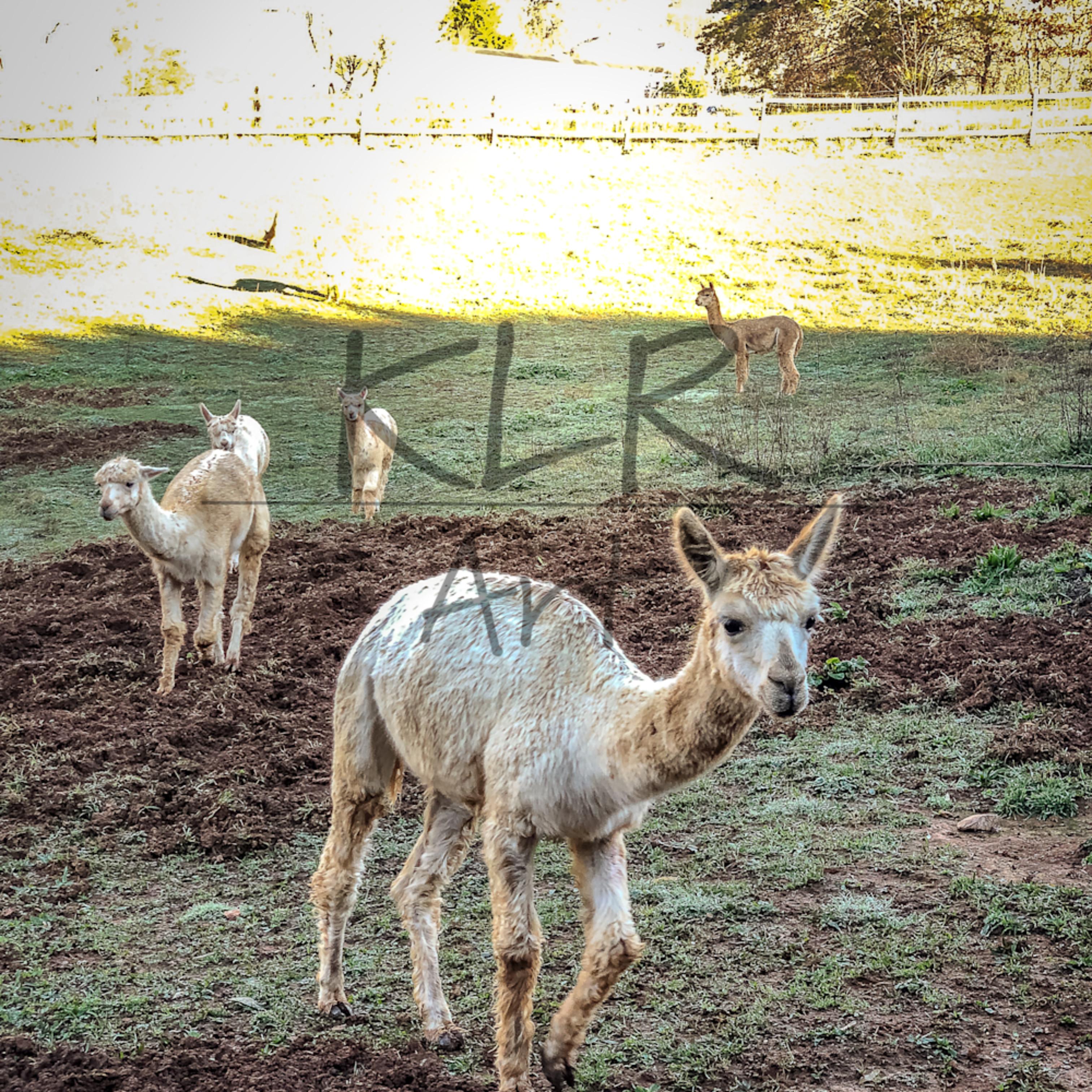 Gaf animals 02 alpacas wet morning aud7uz