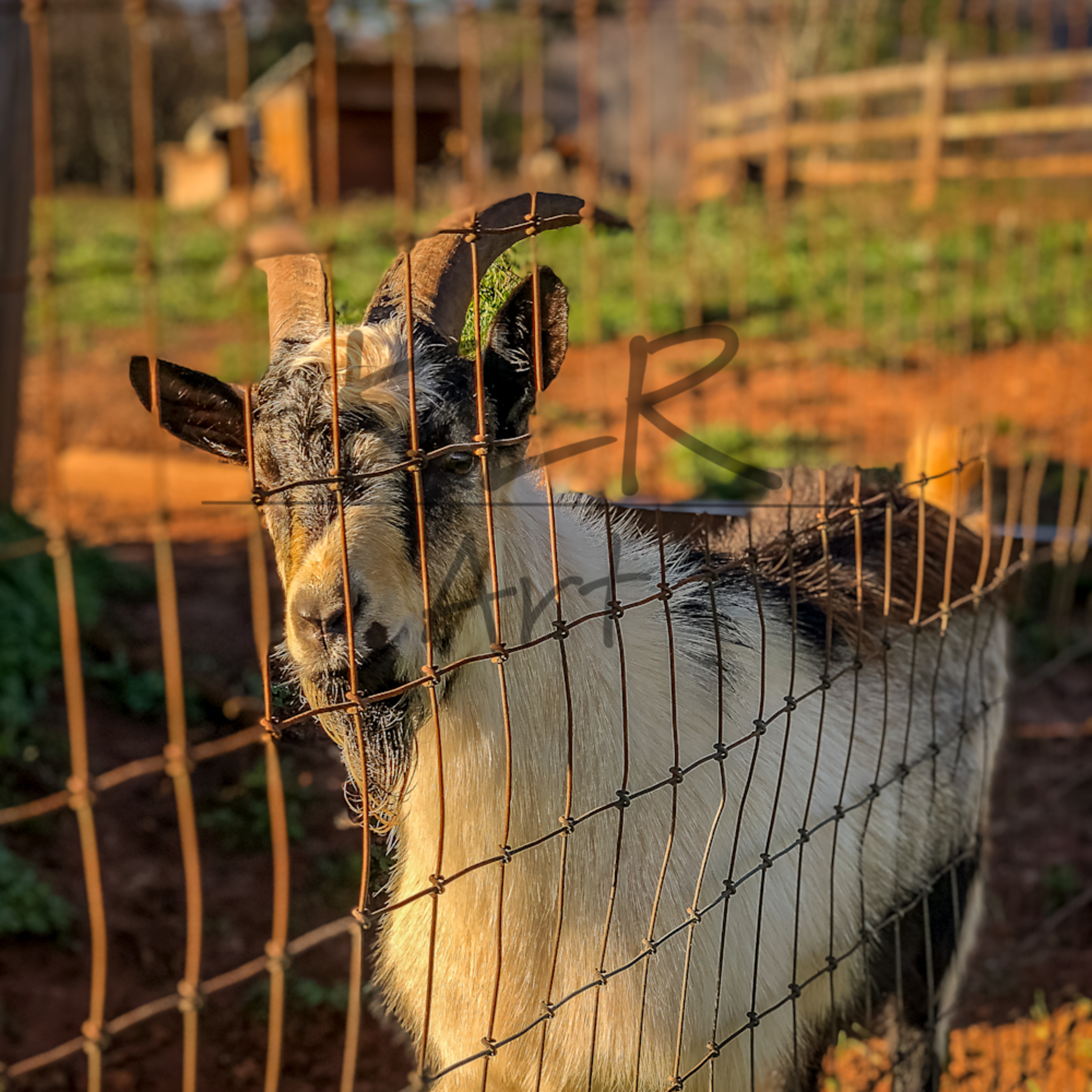 Gaf animals 07 oreo the goat pibn8u