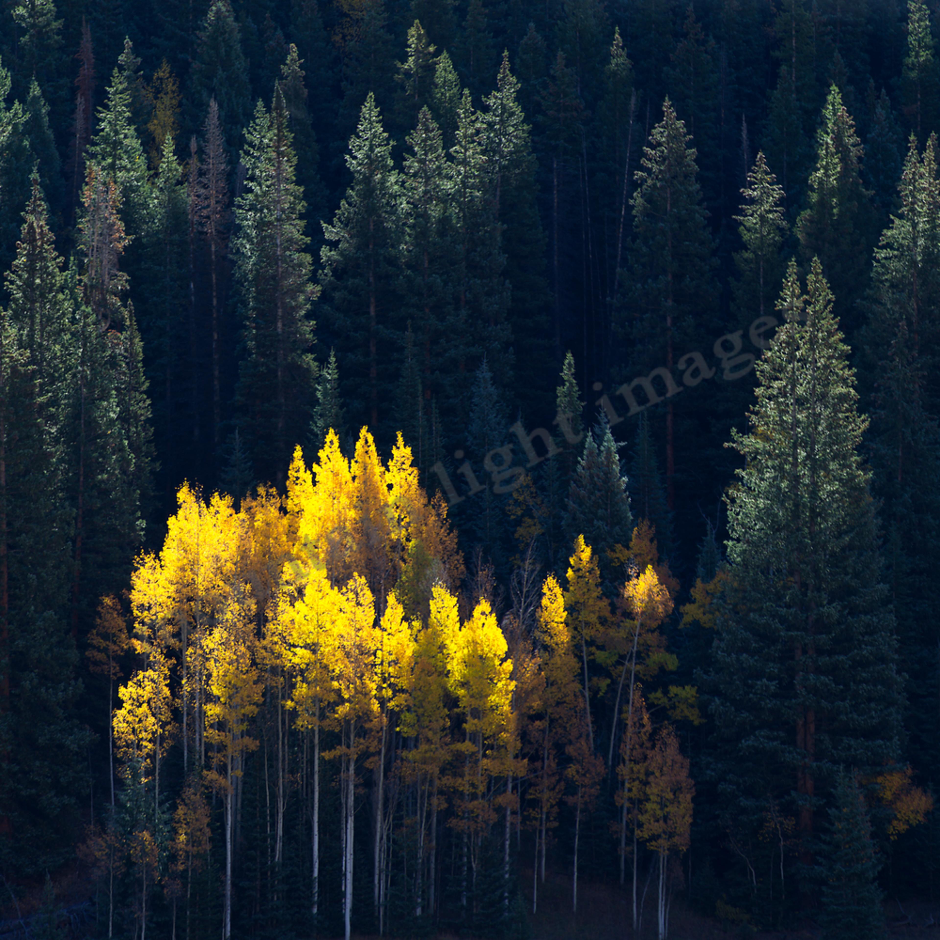 177 aspen glow in pine forest 48x16 kwqigw