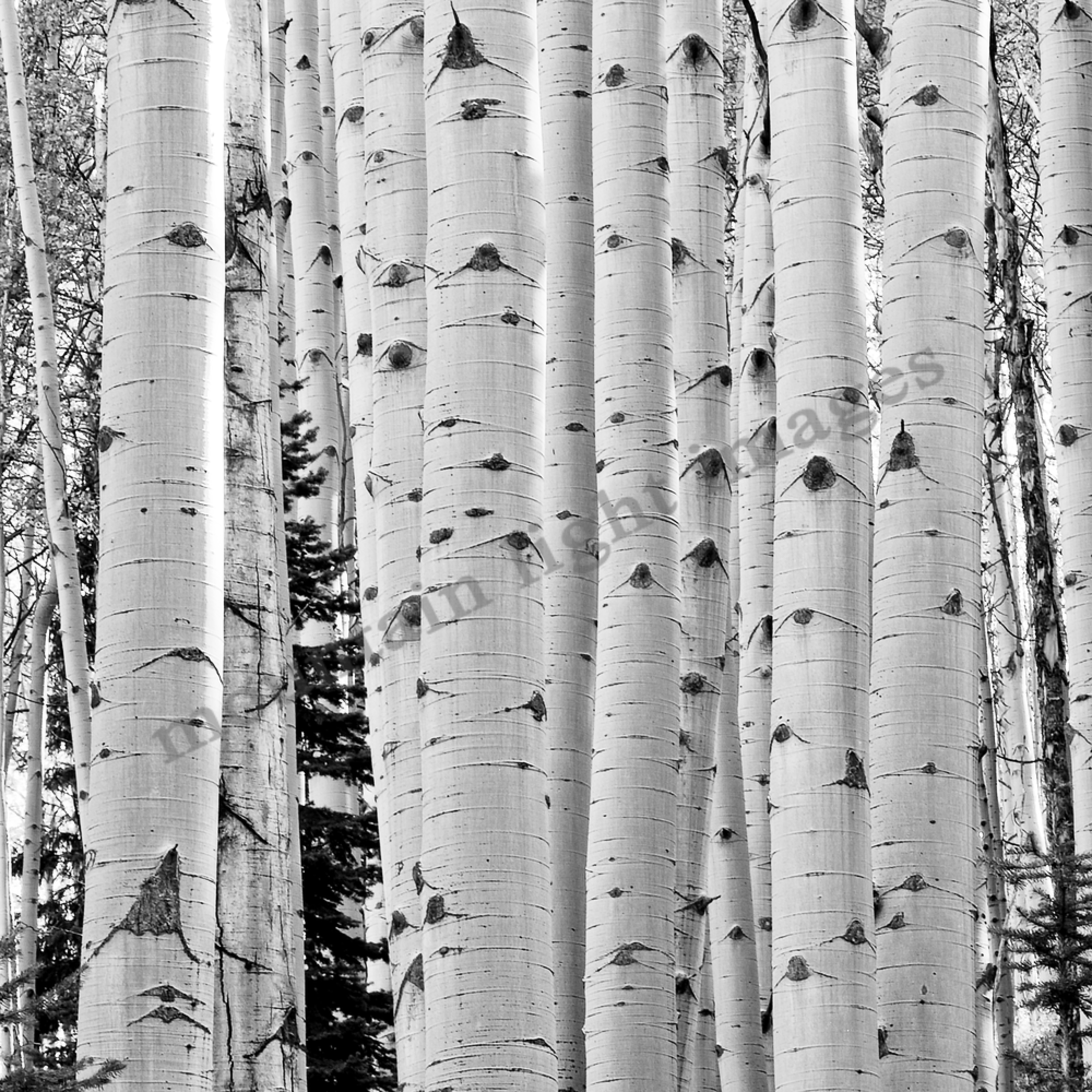 064 aspen trunks bw 36x72 j7ydhn