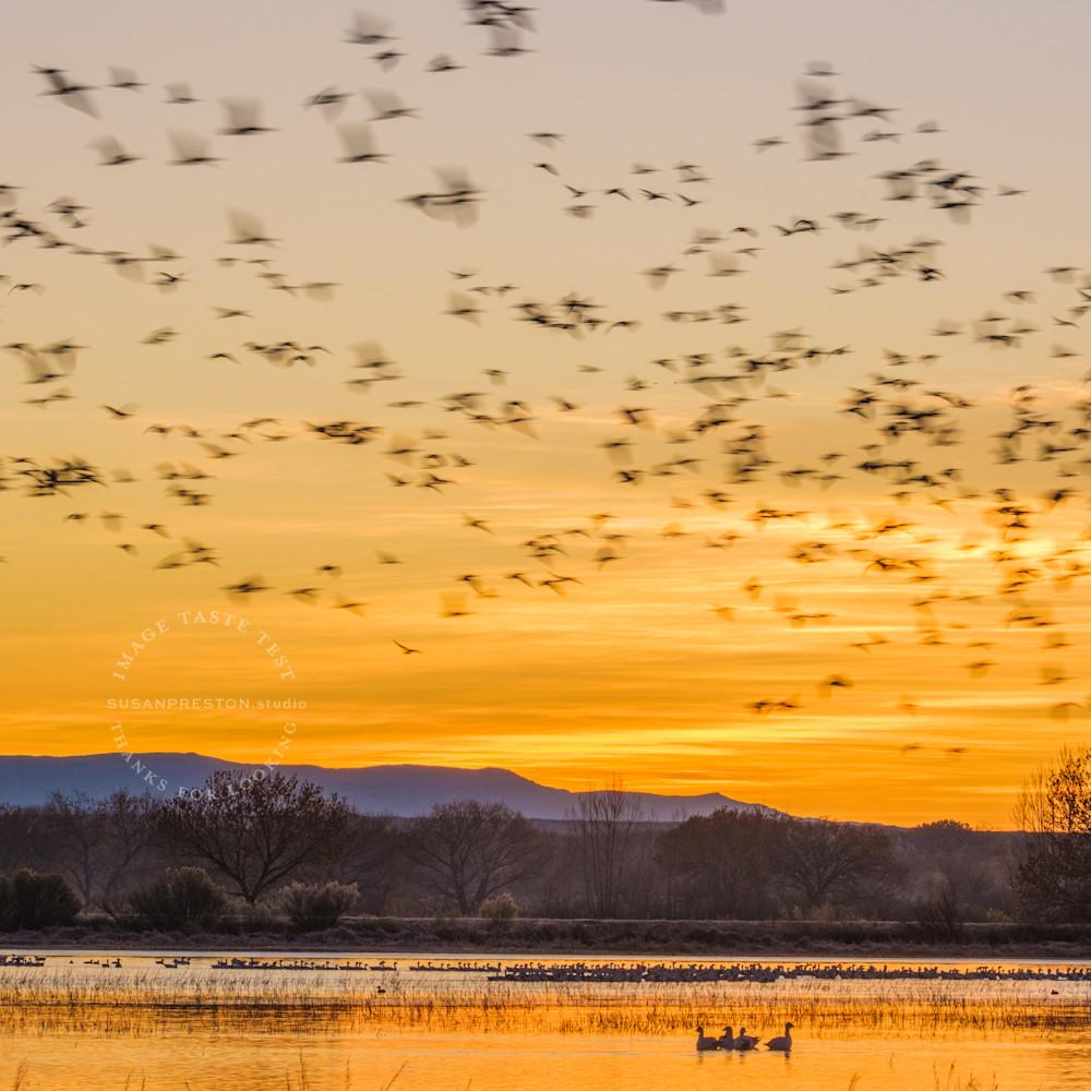 Susan preston golden geese dscf4161 xlgpva