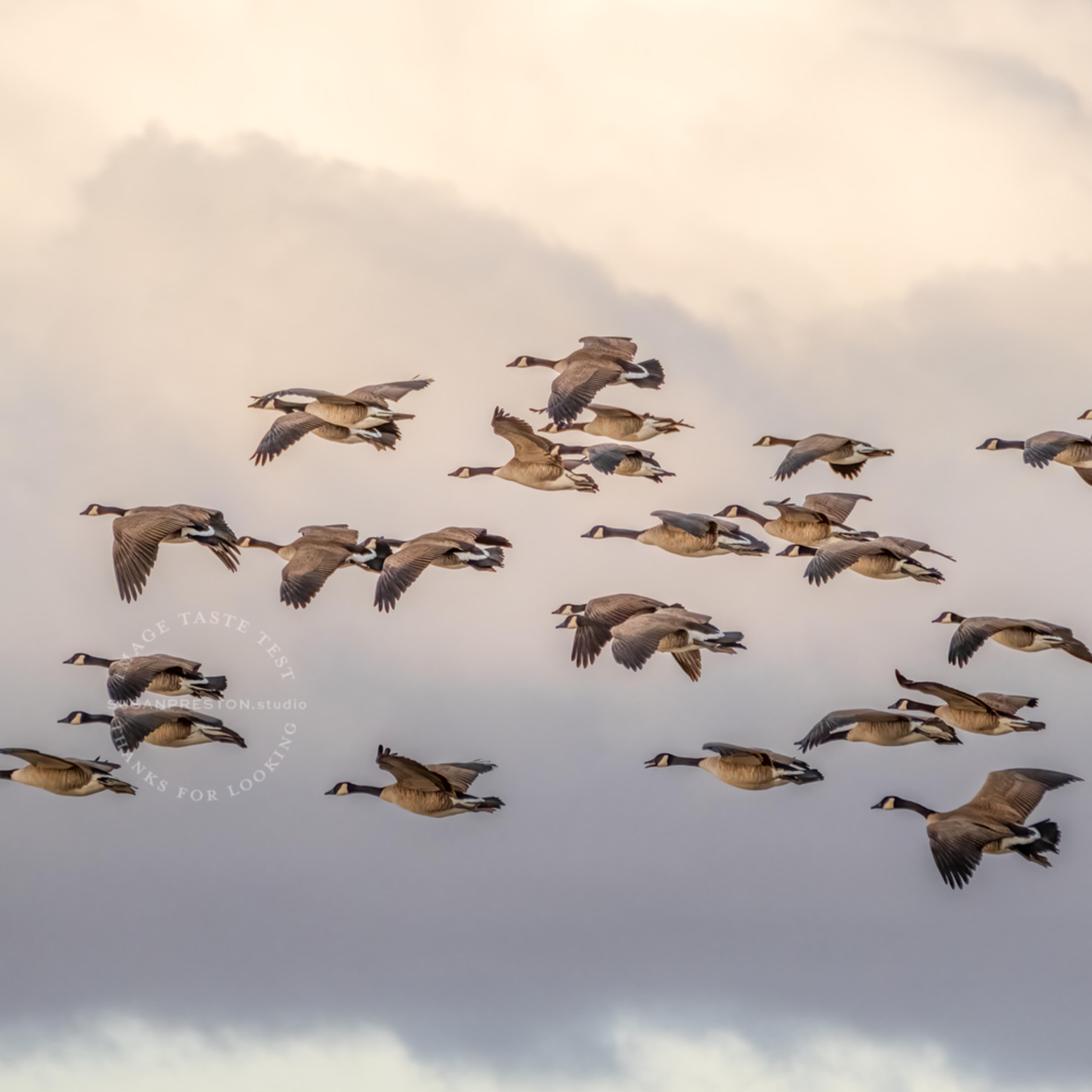 Susan preston candada geese in clouds dscf3180 edit 2 t9vq9m
