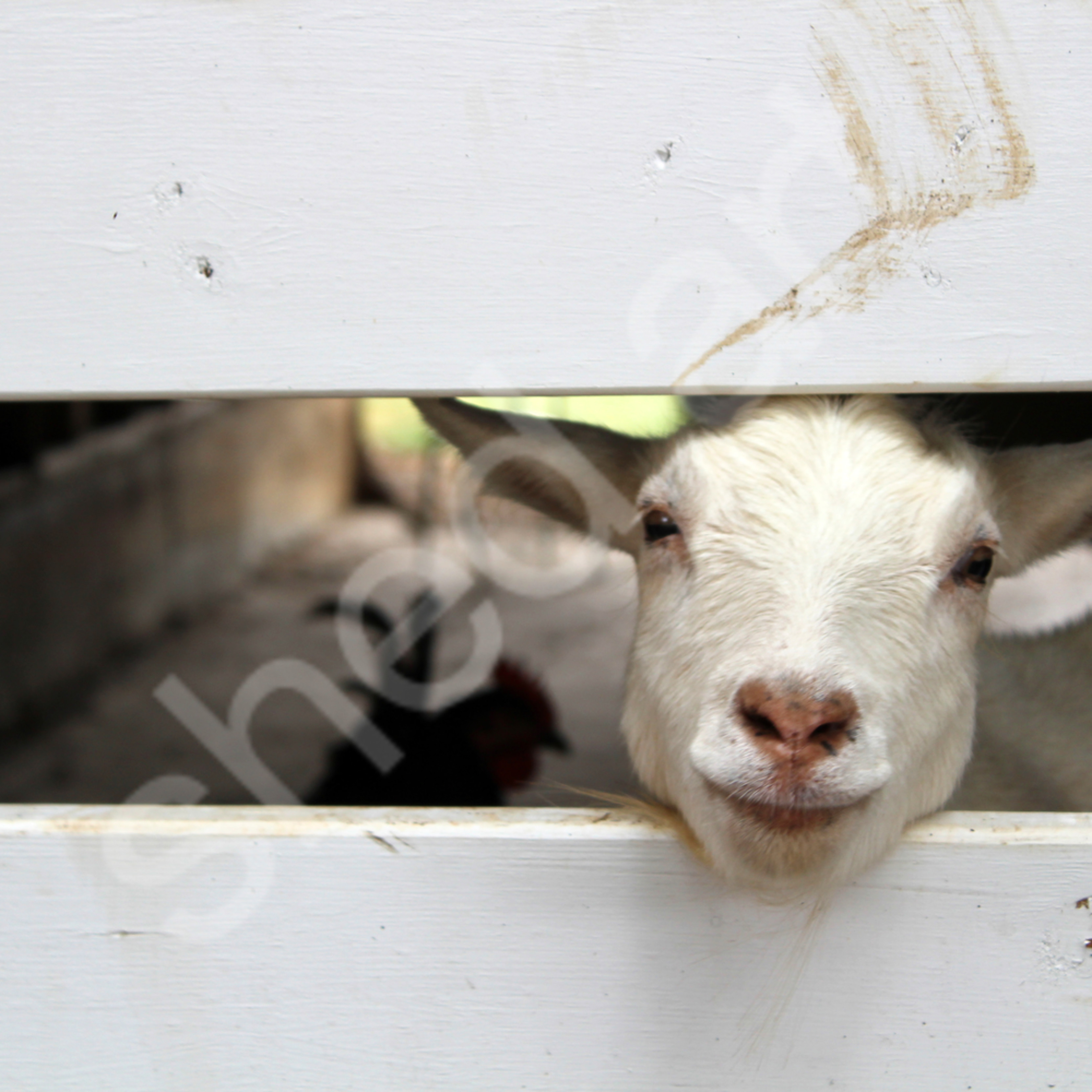 Smiling goat a3nkxw