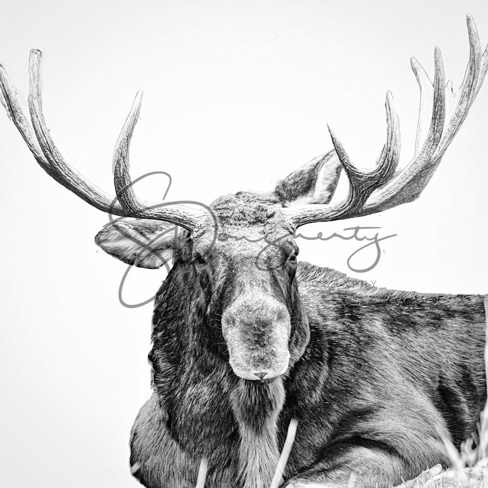 Moose high key  cvmire