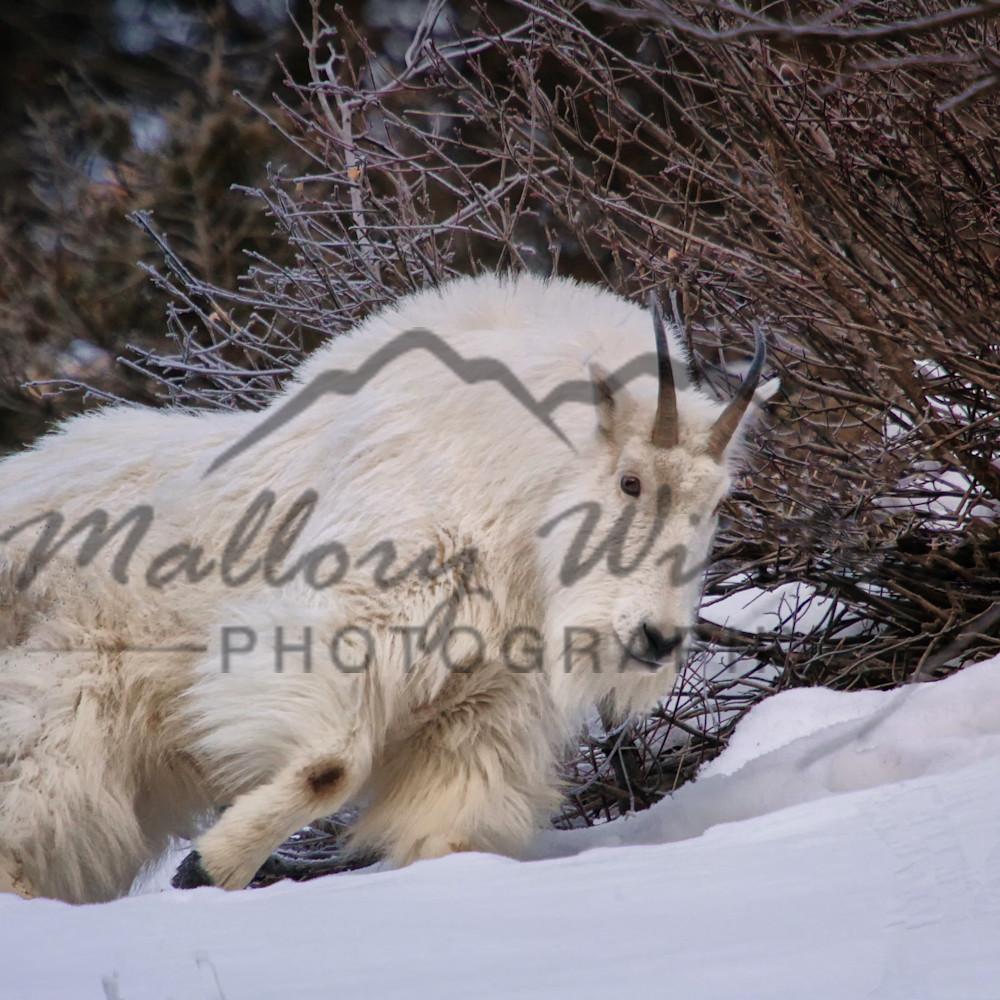 Snow goat 2 axwkxl