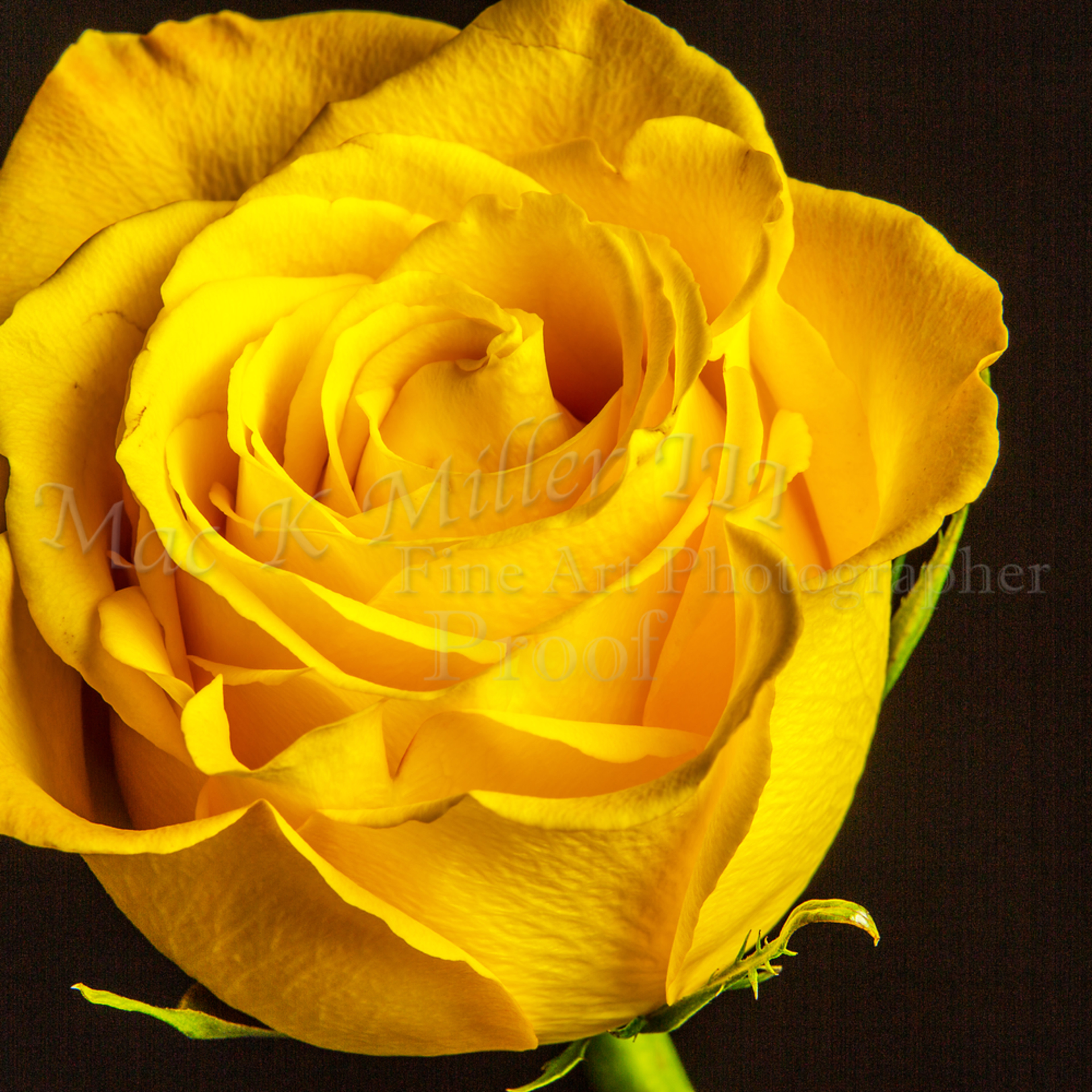 Yellow rose 1625.01 zfepfa