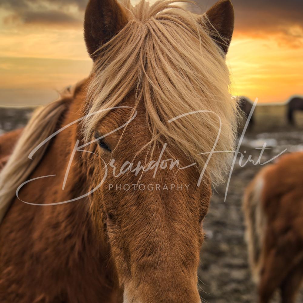 Iceland horse ddxl0b