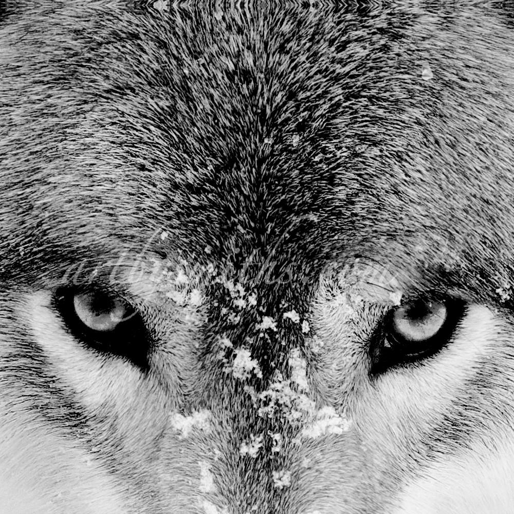 Laktimberwolfeyesbw20x10 l9nffc