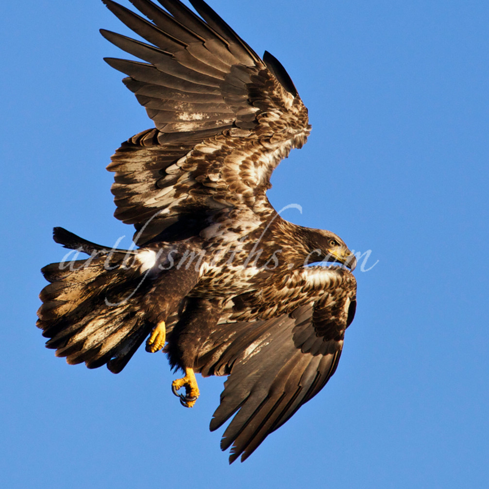 Eagleimmaturedivingc yqyfuu