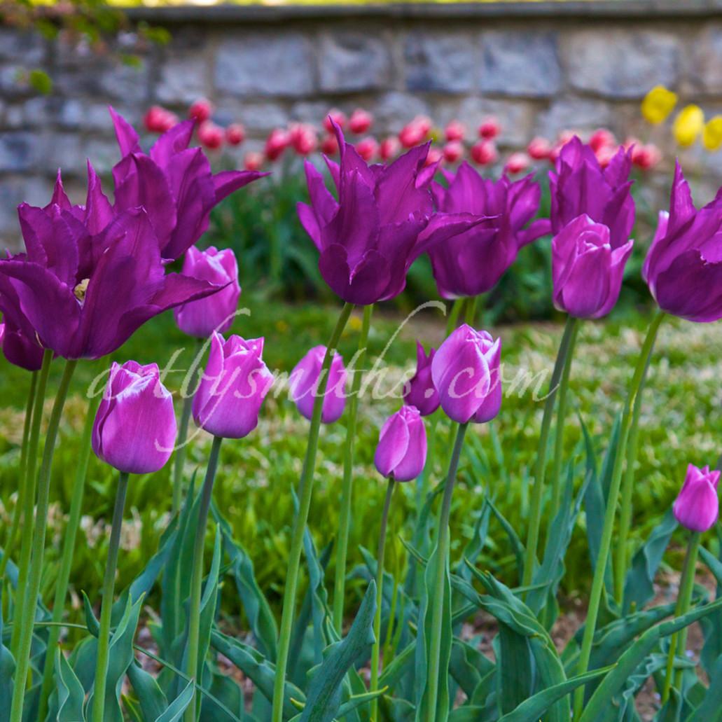 Purple tulips and rock wall 1 to 2 ratio rvtzfv