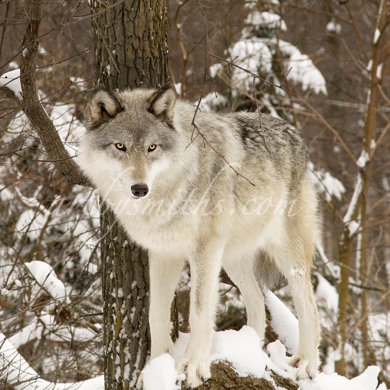 Lakgraywolfontreec nsk09j