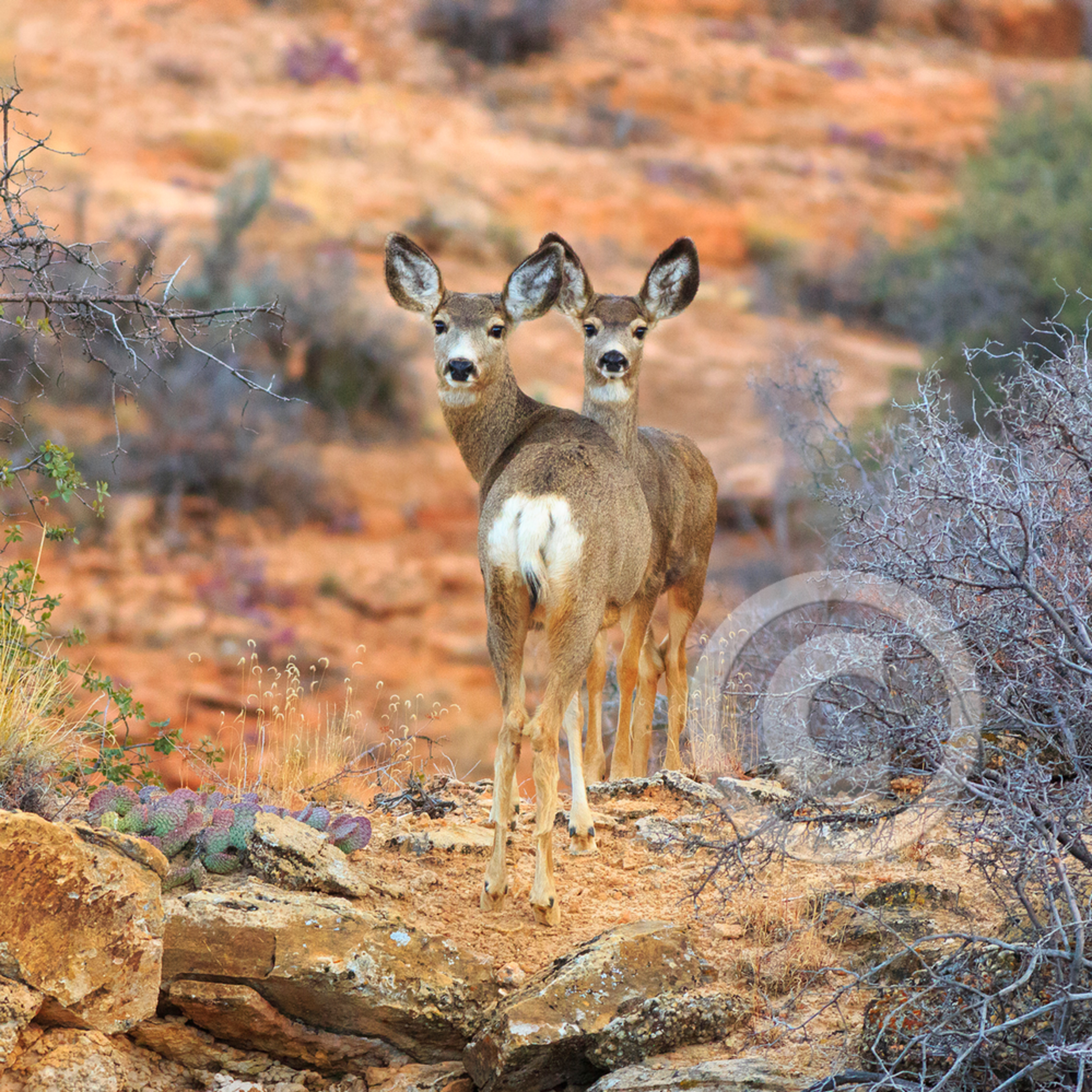 Mj20131119 6621 moccasin mule deer q413ot