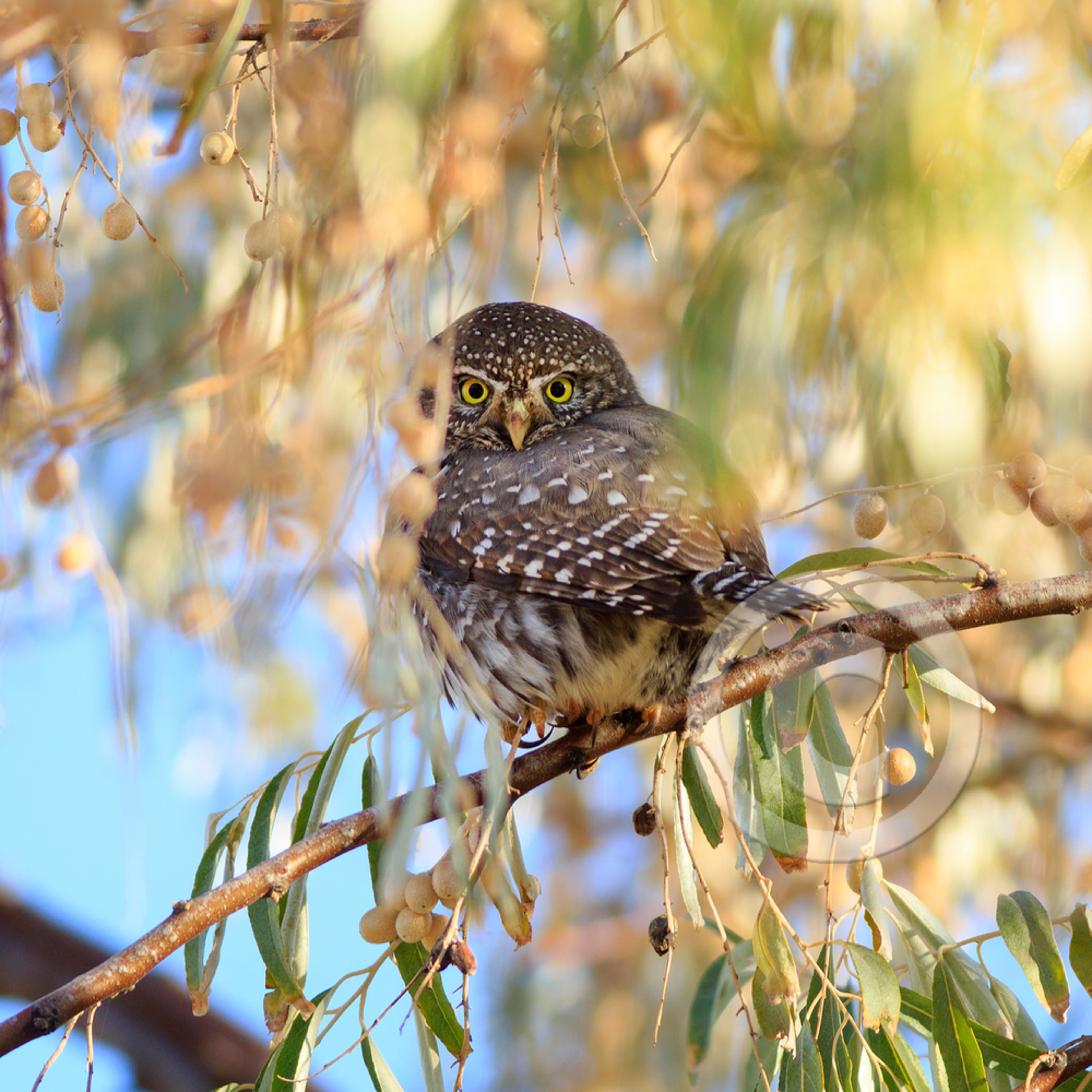Mj20141115 9990 pygmy owl kudman