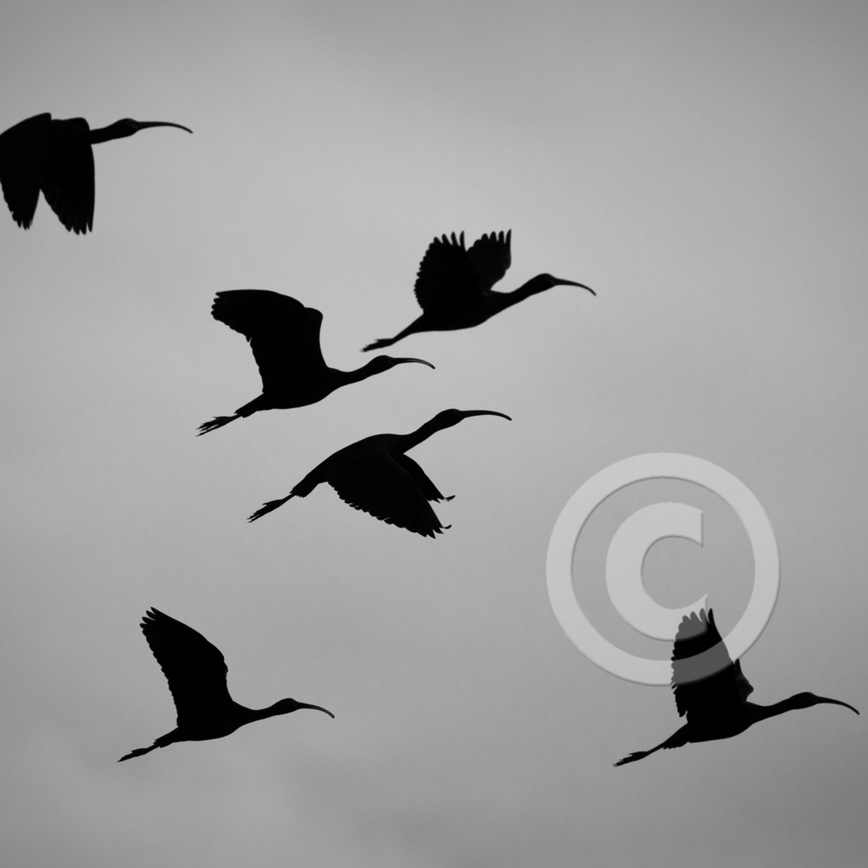 Mj20140505 8878 white faced ibis l0tufw
