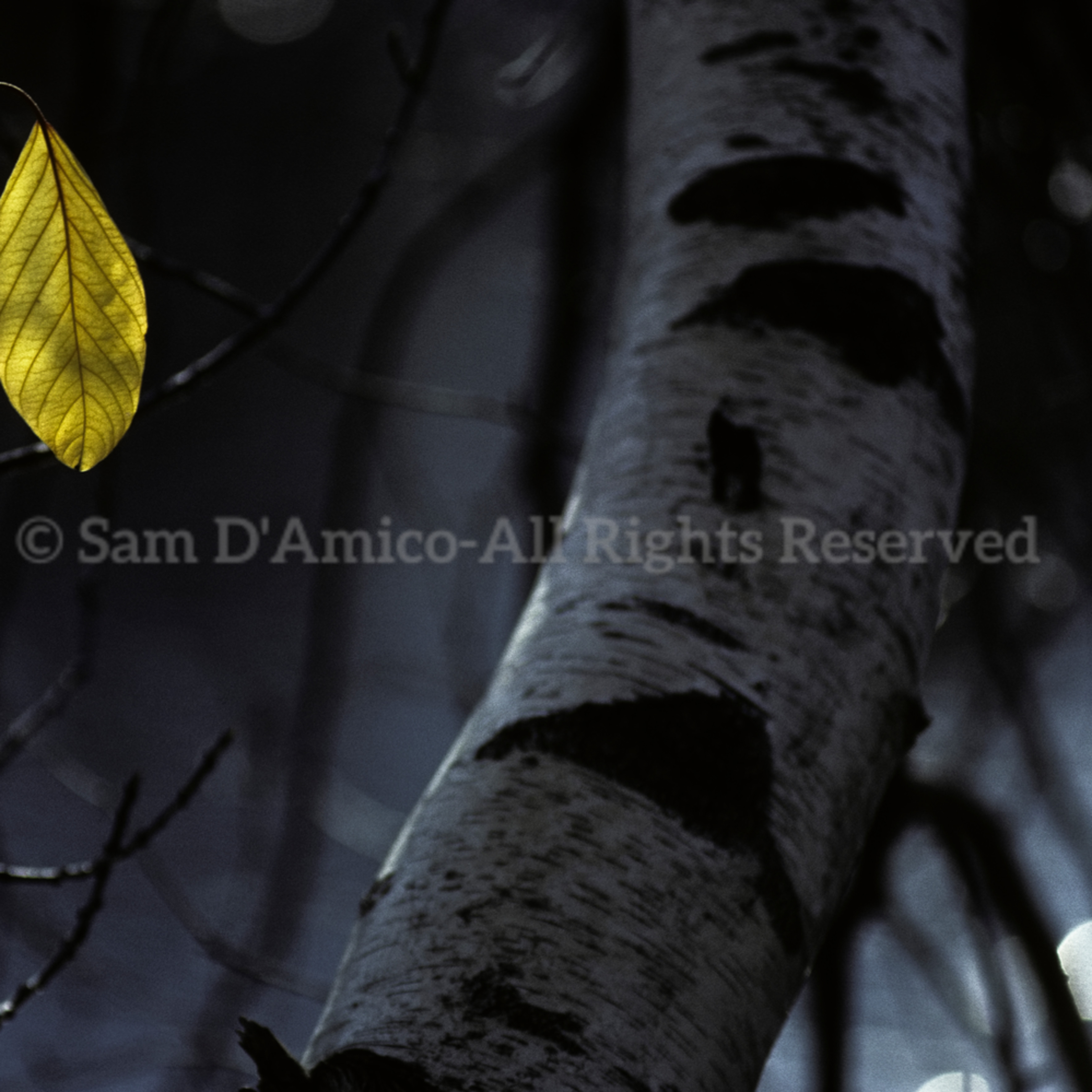 Backlit yellow leaf hangs white birch autumn qflmqt