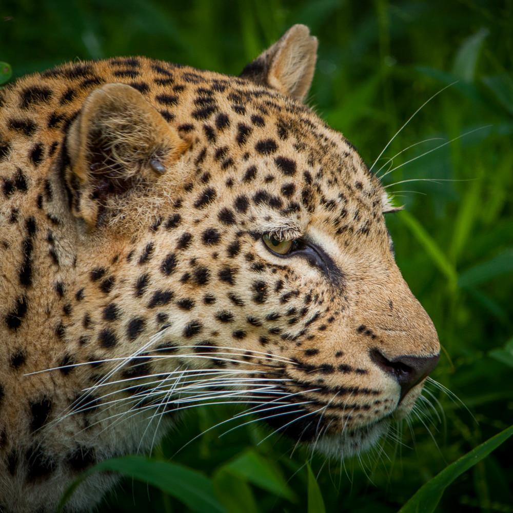 20101215 leopard 02 img 2085 dtobez