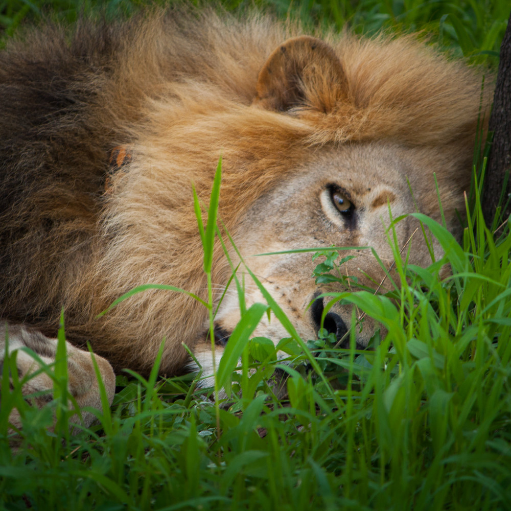 20101214 lion napping img 1884 qoiasu