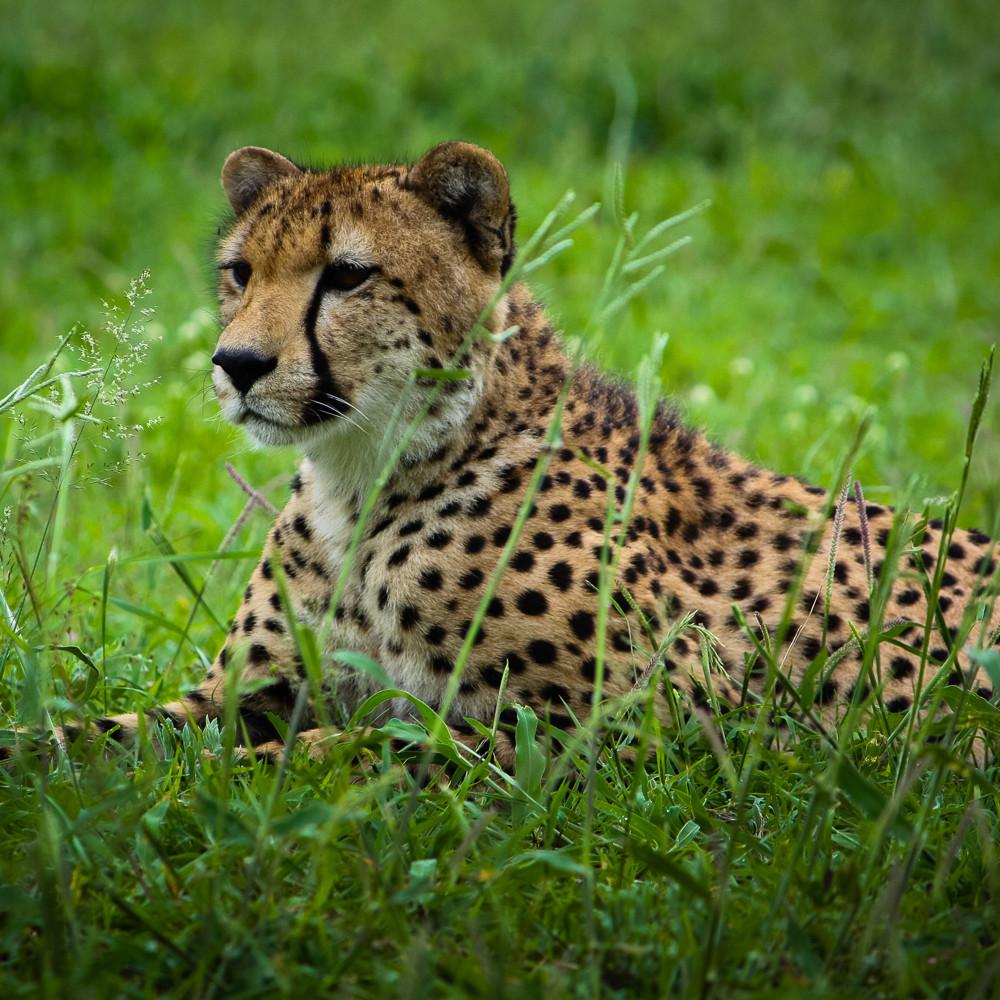 12132010 cheetah img 1844 nhpkeh