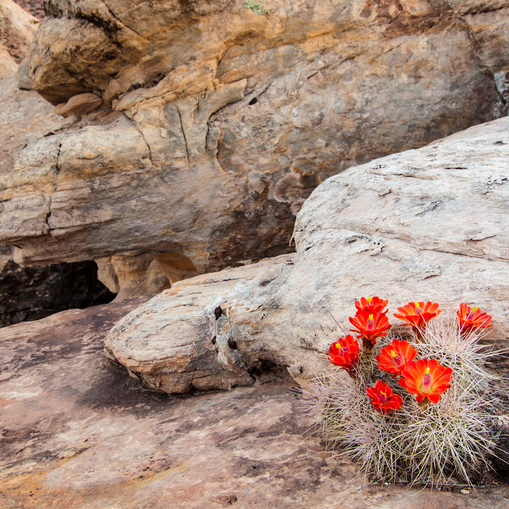 Claret cups and rocks bvehbd