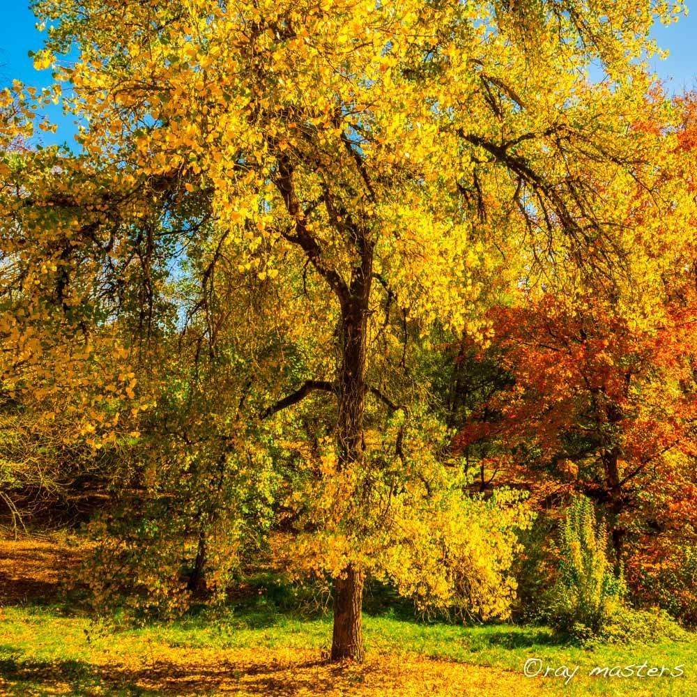 Autumn gold lirwvs
