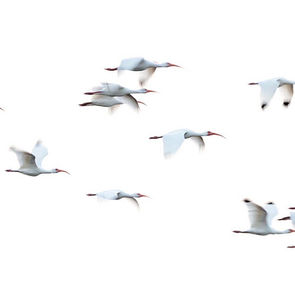 White ibis ritual ooj4ph