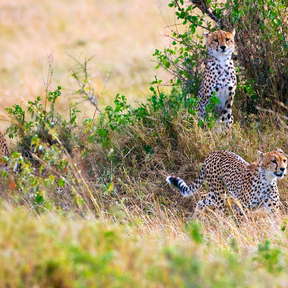 Cheetahs 011 t210gy