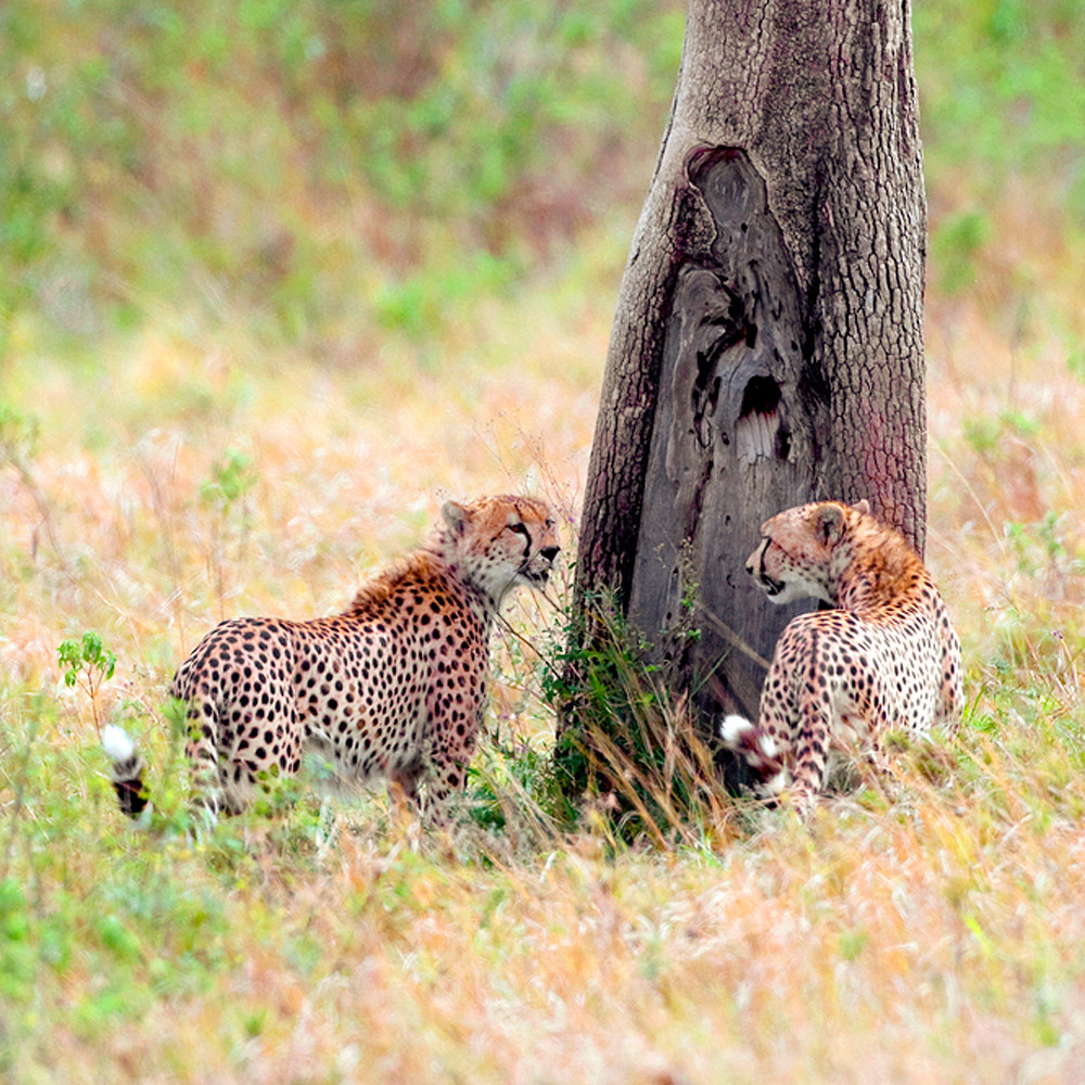 Cheetahs 017 of2t5g