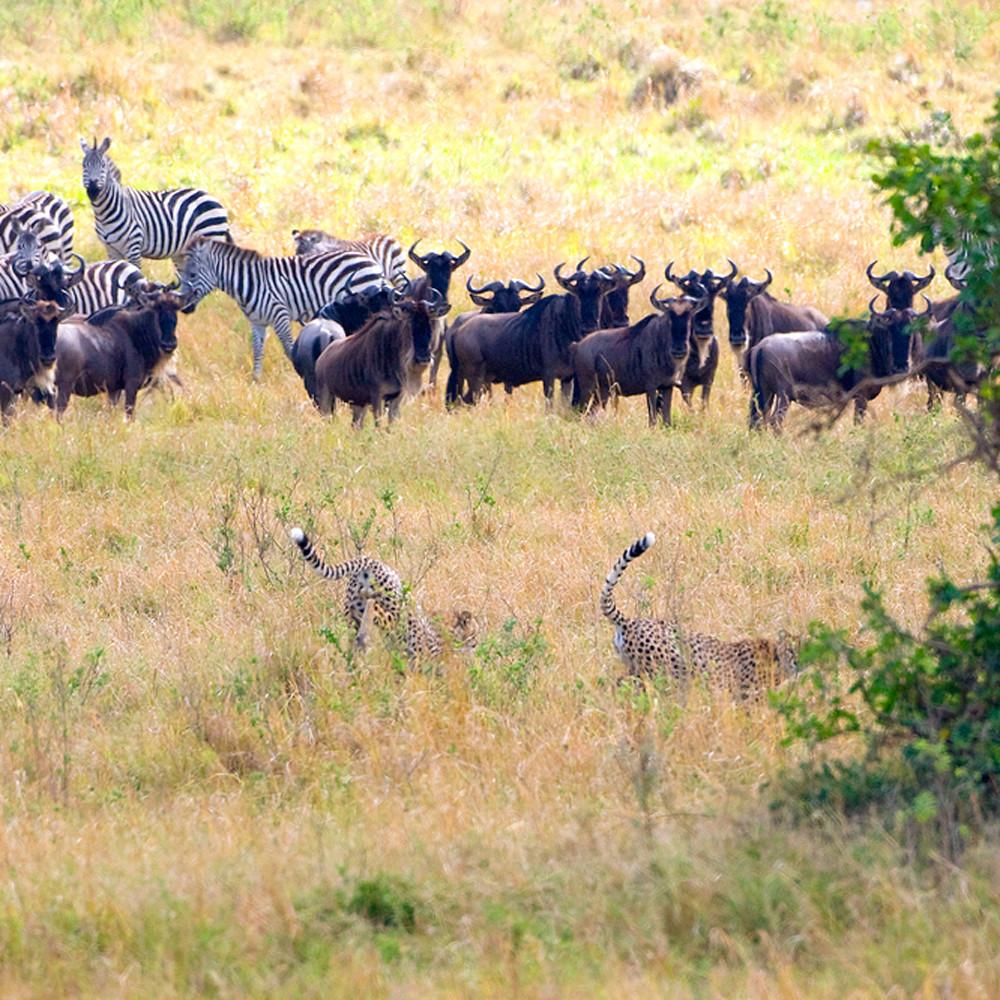 Cheetahs 018 yruwtn