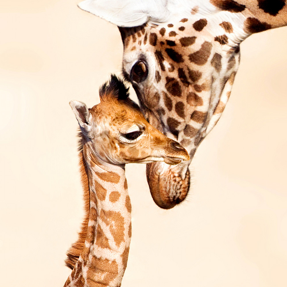 Giraffes 003 biibk3