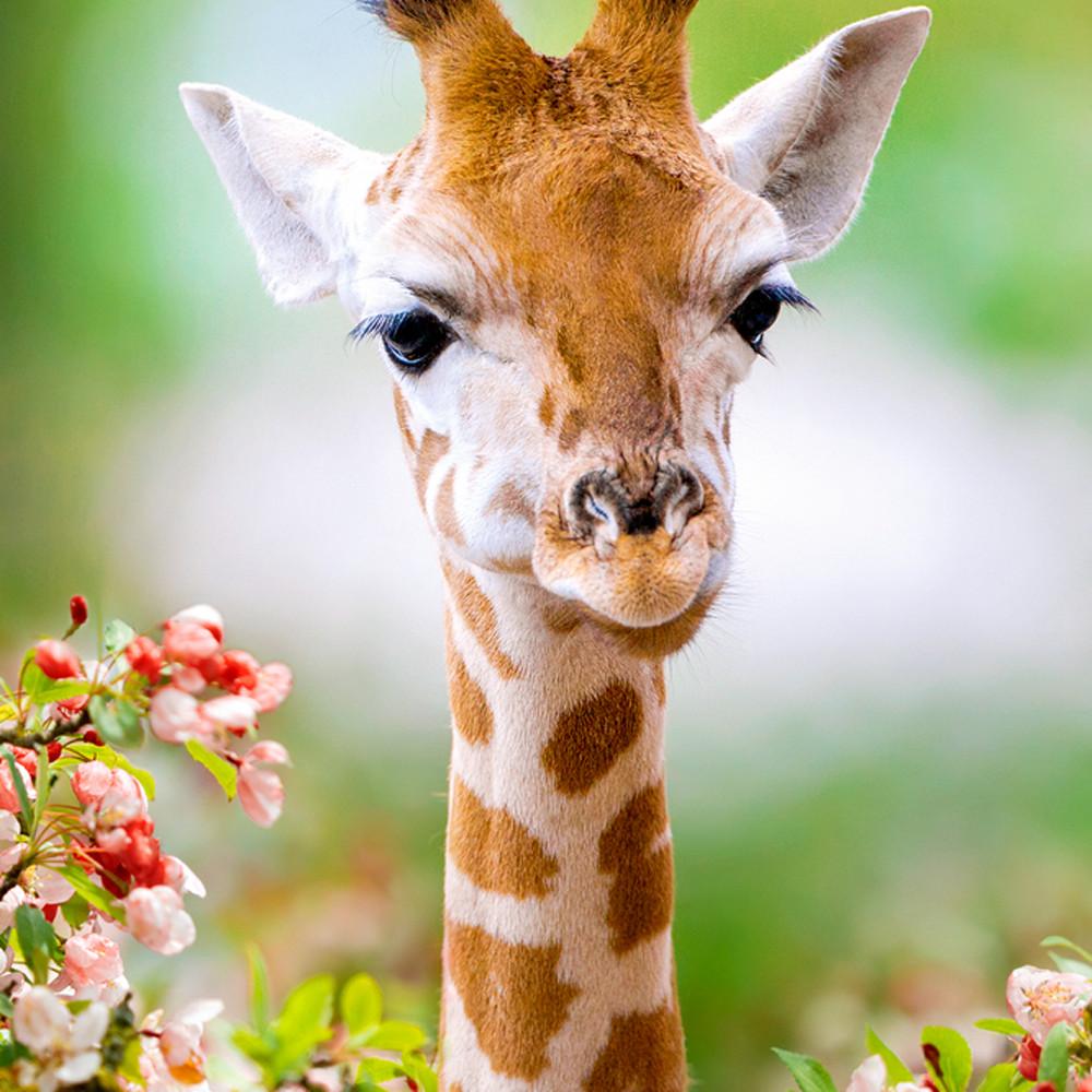 Giraffes 004 n0ee8l