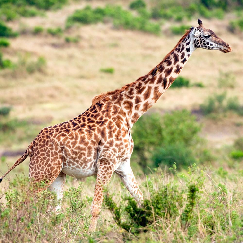Giraffes 014 litwxl