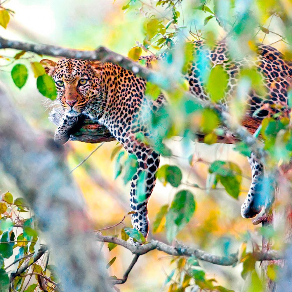 Leopards 009 dagpmq
