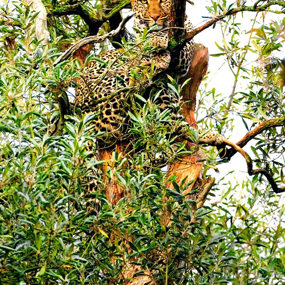 Leopards 008 zzi6tr