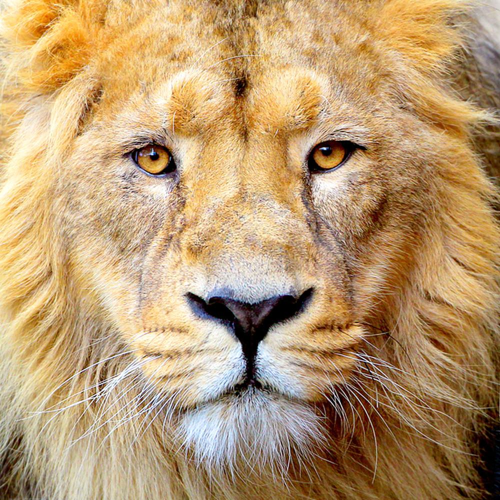 Lions 001 dk5zqw