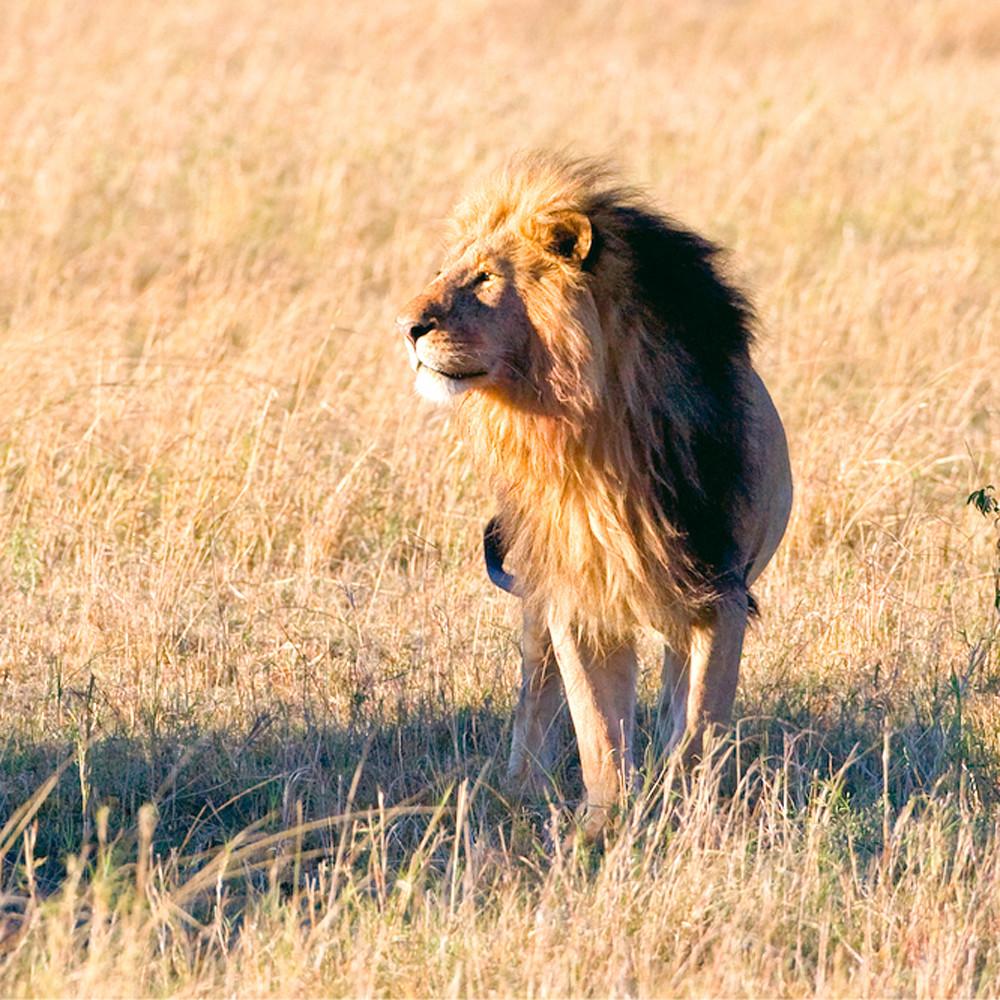 Lions 009 idzlzn