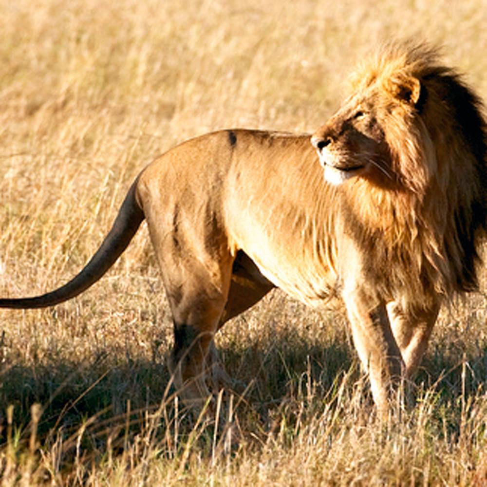 Lions 016 uz0gbh