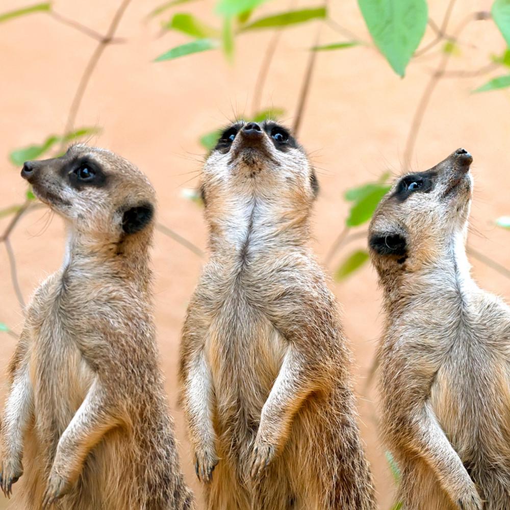 Meerkats 001 zmj2oi