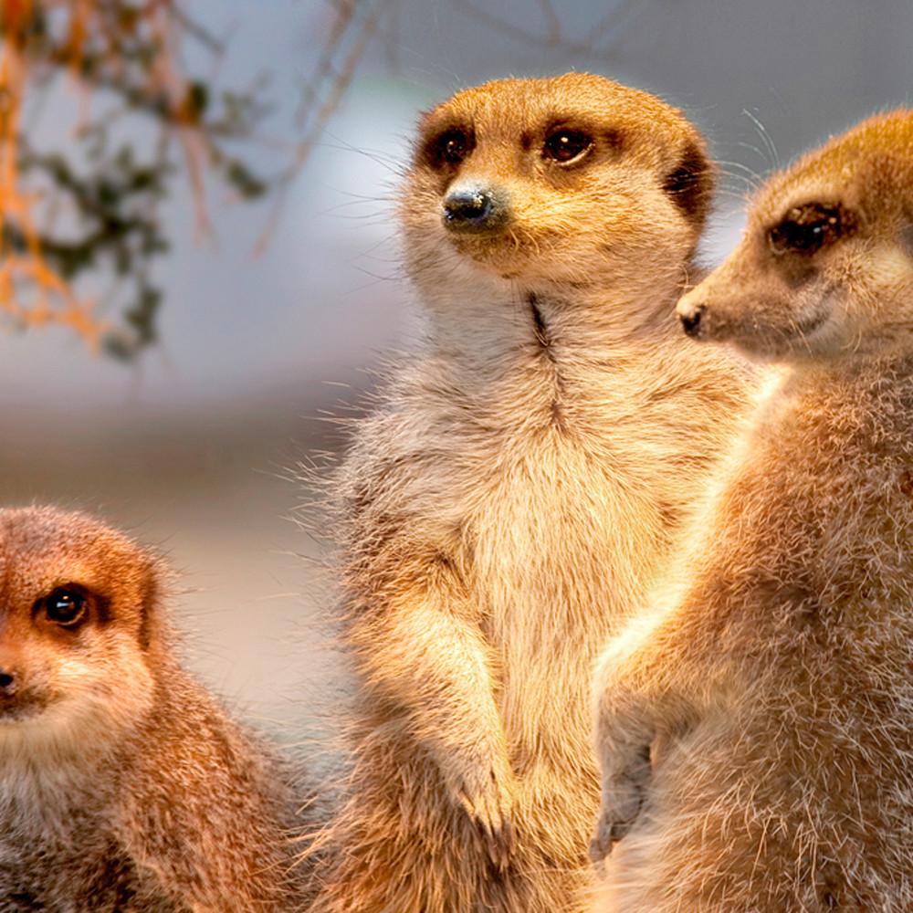 Meerkats 002 k4b4k5