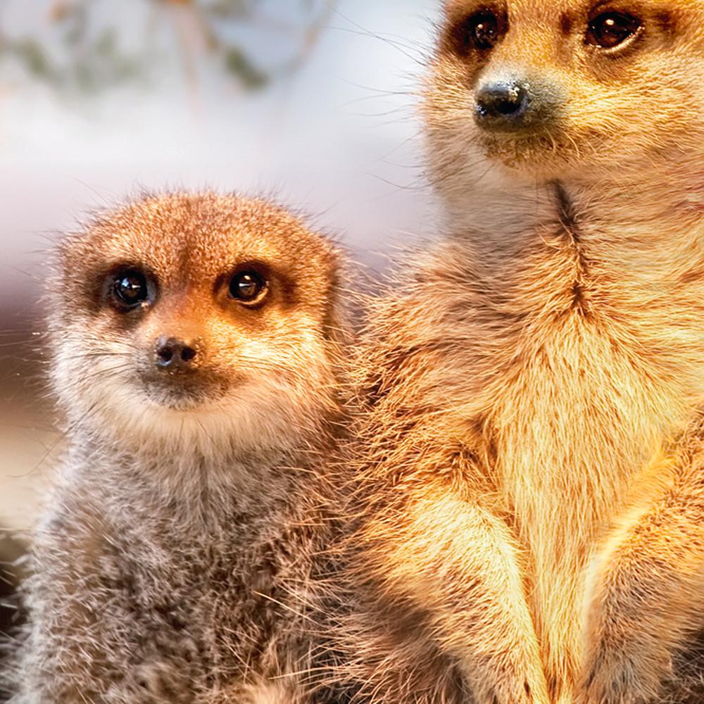 Meerkats 004 yb8ibz